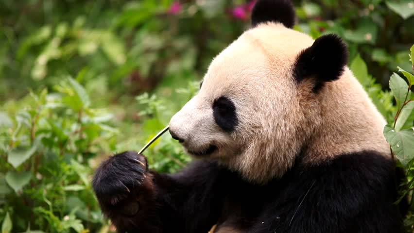 This is a panda eating bamboo
